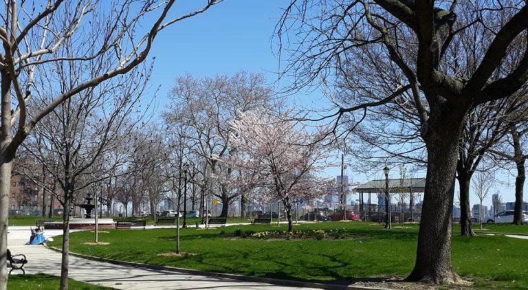 911 Memory Cherry Tree in Bloom